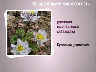 растения высокогорий казахстана Купальница лиловая Флора Алматинской области