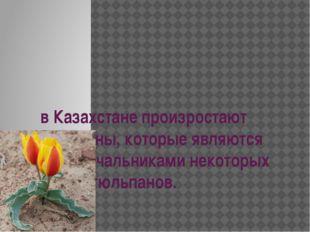 в Казахстане произростают тюльпаны, которые являются родоначальниками некотор