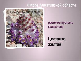 растения пустынь казахстана Цистанхе желтая Флора Алматинской области