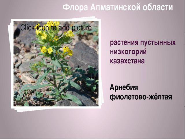 растения пустынных низкогорий казахстана Арнебия фиолетово-жёлтая Флора Алмат...