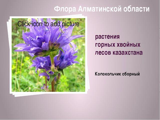 растения горных хвойных лесов казахстана Колокольчик сборный Флора Алматинско...