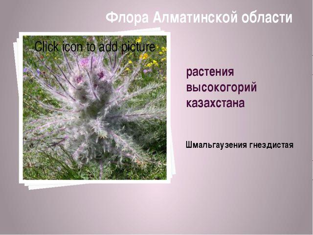 растения высокогорий казахстана Шмальгaузения гнездистая Флора Алматинской об...