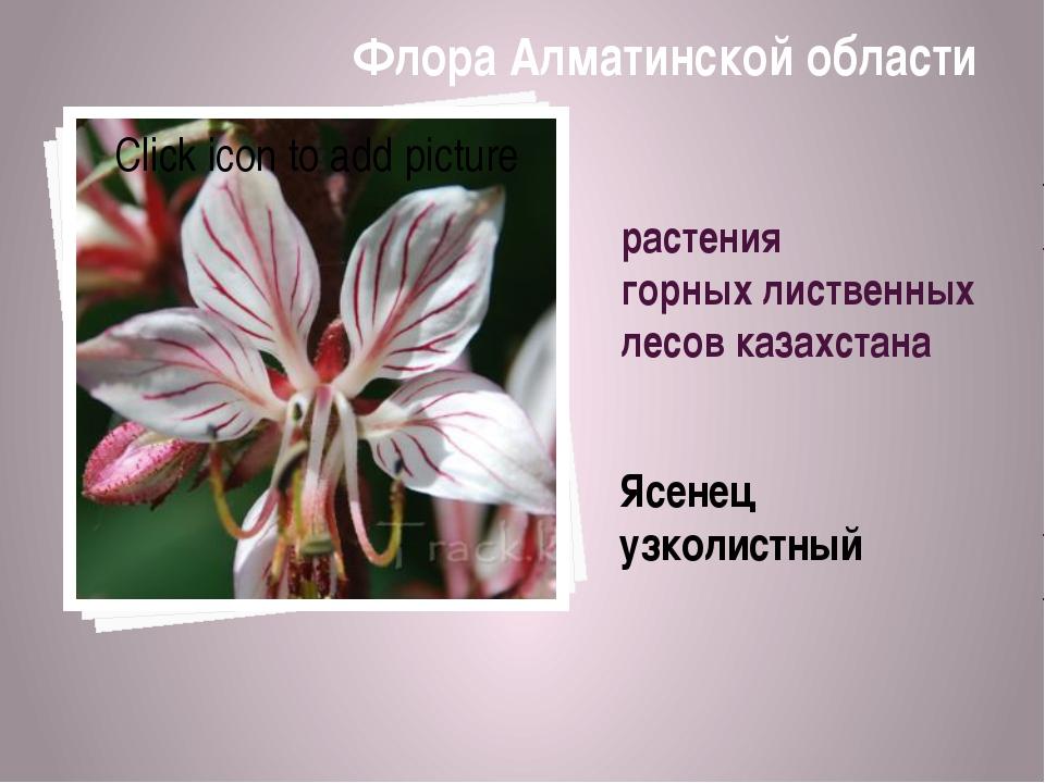 растения горных лиственных лесов казахстана Ясенец узколистный Флора Алматинс...