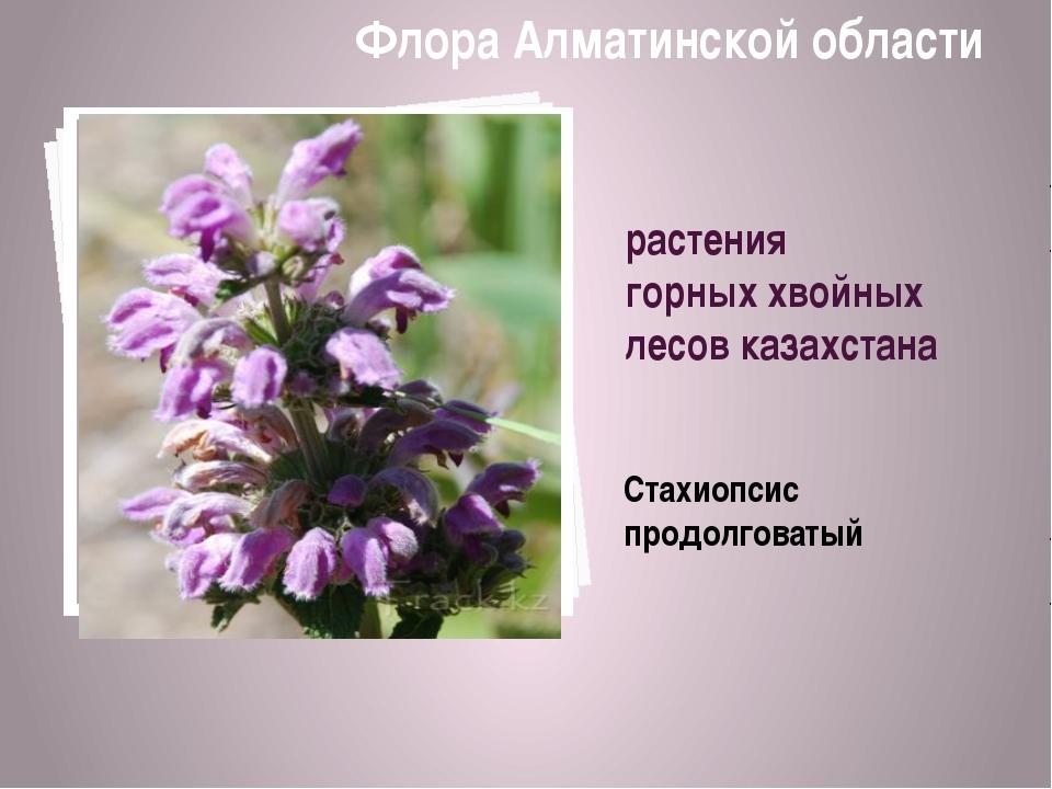 растения горных хвойных лесов казахстана Стахиопсис продолговатый Флора Алмат...