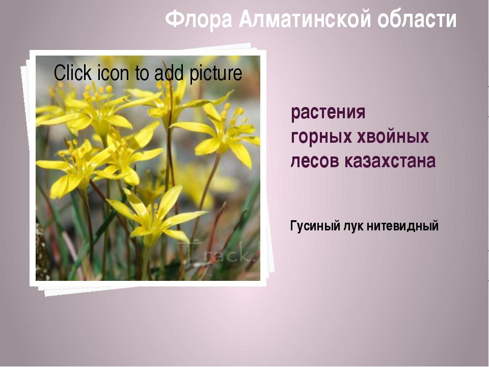 растения горных хвойных лесов казахстана Гусиный лук нитевидный Флора Алматин...
