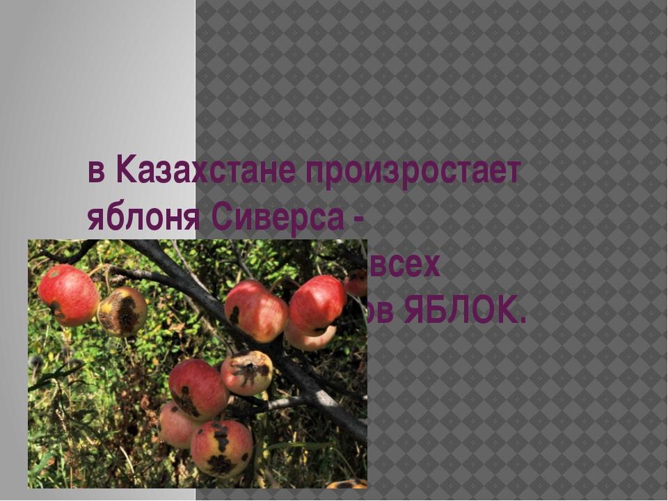 в Казахстане произростает яблоня Сиверса - родоначальница всех культурных сор...
