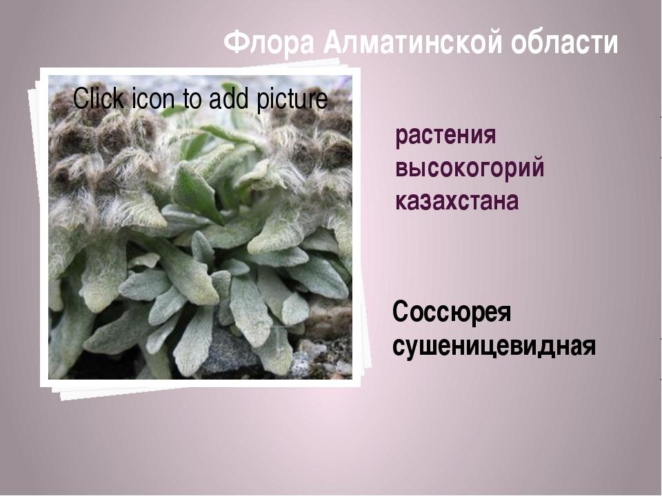 растения высокогорий казахстана Соссюрея сушеницевидная Флора Алматинской обл...