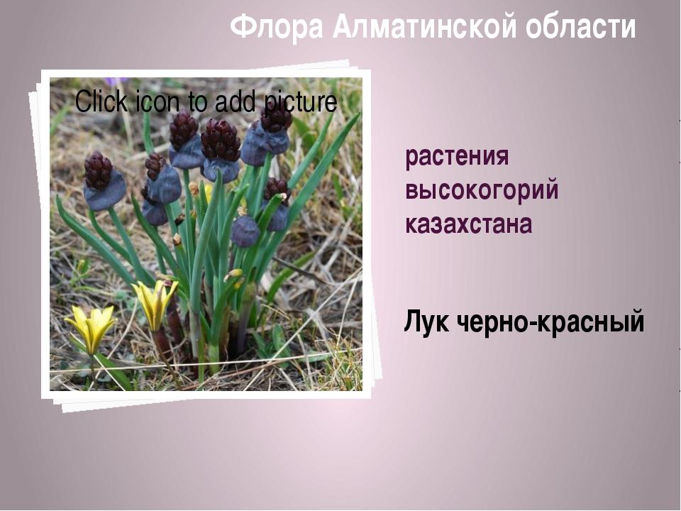 растения высокогорий казахстана Лук черно-красный Флора Алматинской области