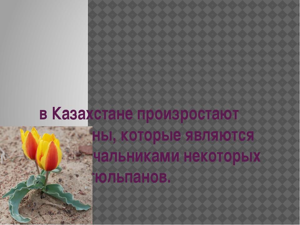 в Казахстане произростают тюльпаны, которые являются родоначальниками некотор...