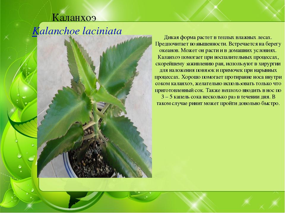 Каланхоэ Kalanchoe laciniata Дикая форма растет в теплых влажных лесах. Пред...