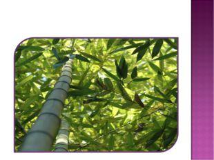 Бамбук за одни сутки вырастает на 50 см. А если мы останемся здесь на одну не