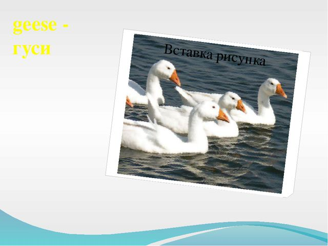 geese - гуси