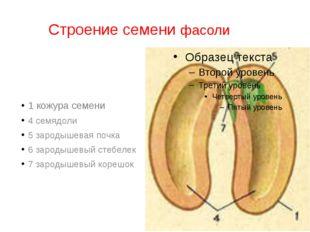 Строение семени фасоли 1 кожура семени 4 семядоли 5 зародышевая почка 6