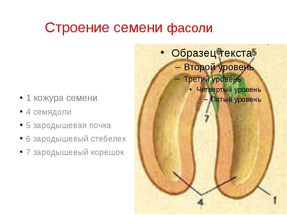 Строение семени фасоли 1 кожура семени 4 семядоли 5 зародышевая почка 6...
