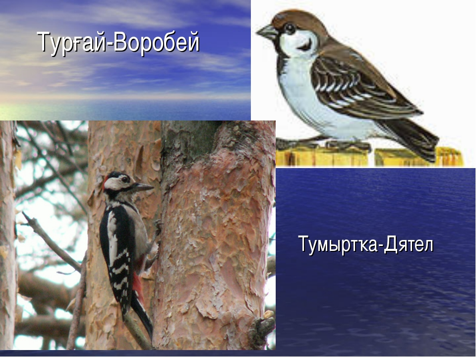 Турғай-Воробей Тумыртҡа-Дятел