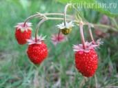 http://fruitarian.ru/wp-content/uploads/2011/09/zemlyanika5_1024x768.jpg