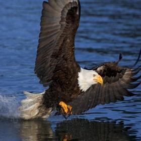 Eagle_Alaska2.JPG
