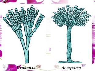 Пеницилл Аспергилл