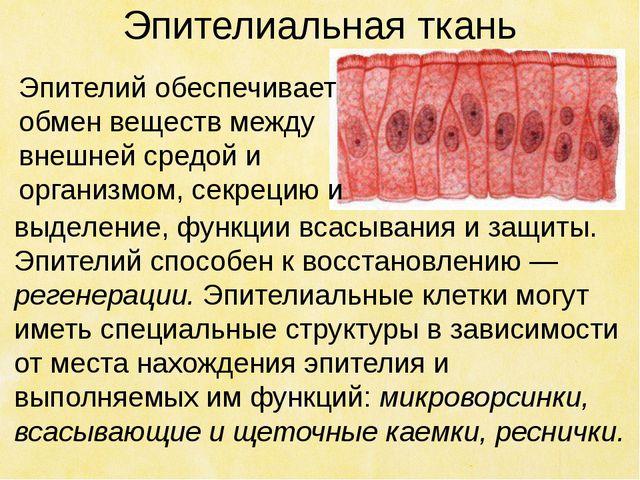 Эпителиальная ткань выделение, функции всасывания и защиты. Эпителий способен...