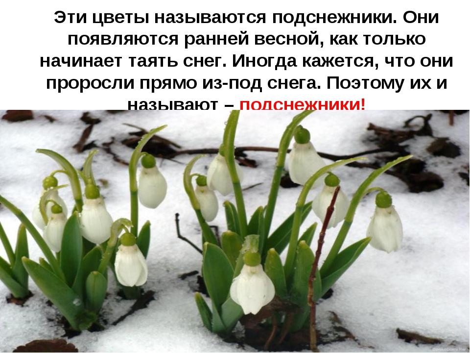 Эти цветы называются подснежники. Они появляются ранней весной, как только н...
