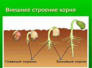 Внешнее строение корня