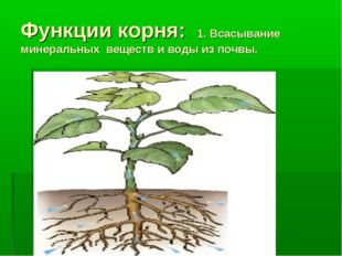 Функции корня: 1. Всасывание минеральных веществ и воды из почвы.