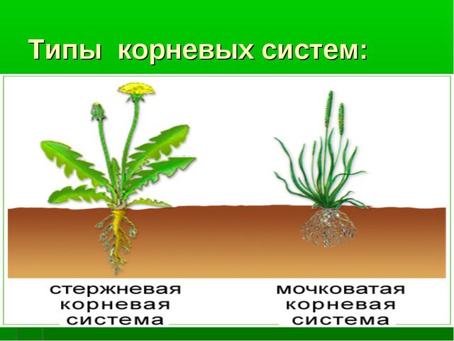 Типы корневых систем: