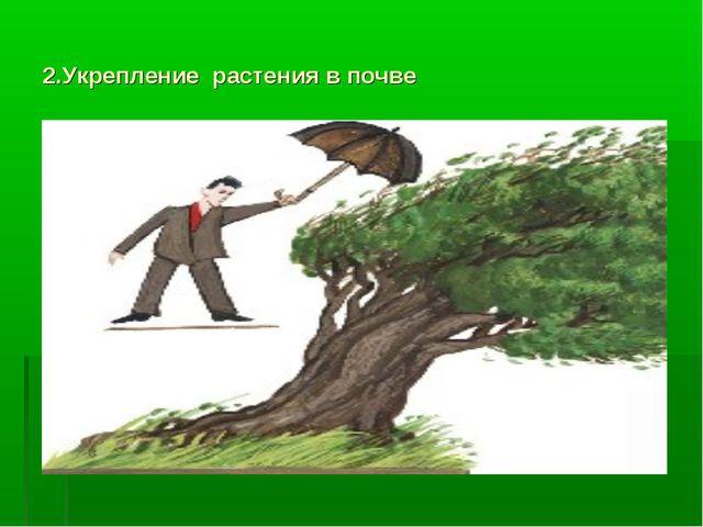 2.Укрепление растения в почве