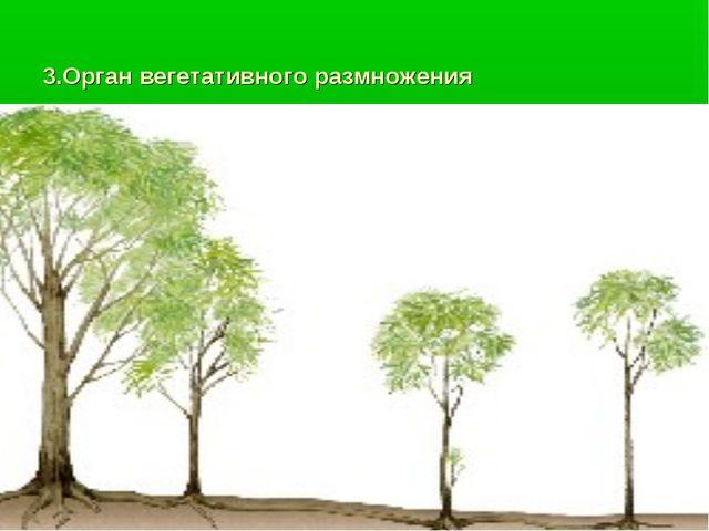 3.Орган вегетативного размножения