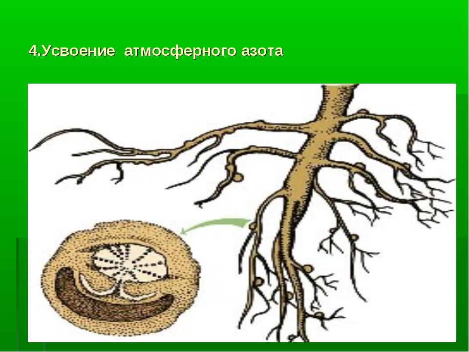 4.Усвоение атмосферного азота