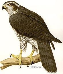 http://www.zooclub.ru/attach/birds/463.jpg