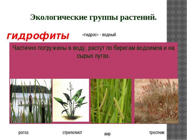 Экологические группы растений. Частично погружены в воду, растут по берегам в...