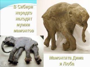 В Сибири нередко находят мумии мамонтов Мамонтята Дима и Люба