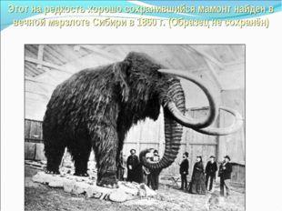 Этот на редкость хорошо сохранившийся мамонт найден в вечной мерзлоте Сибири