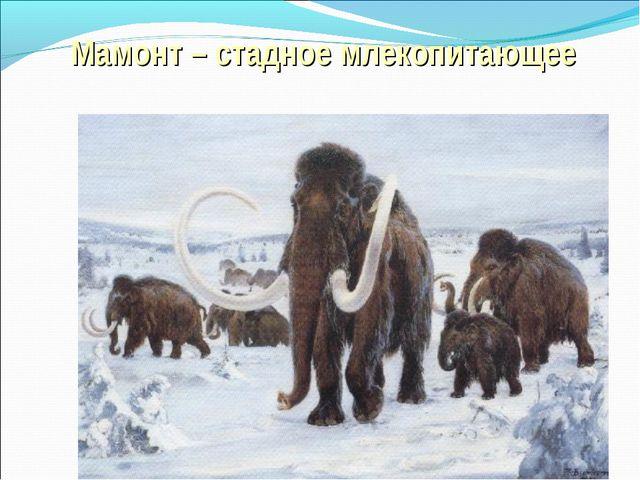 Мамонт – стадное млекопитающее
