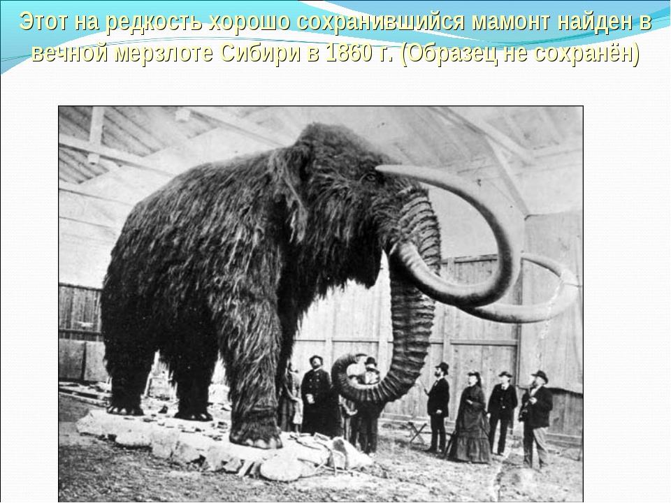 Этот на редкость хорошо сохранившийся мамонт найден в вечной мерзлоте Сибири...