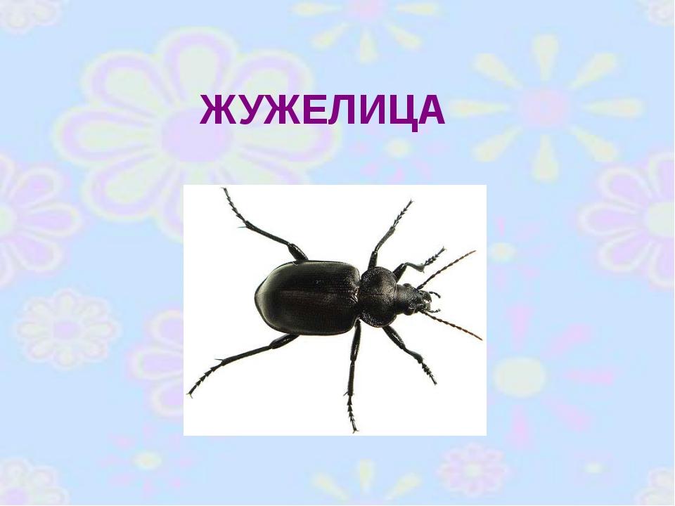 ЖУЖЕЛИЦА