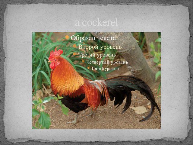 a cockerel