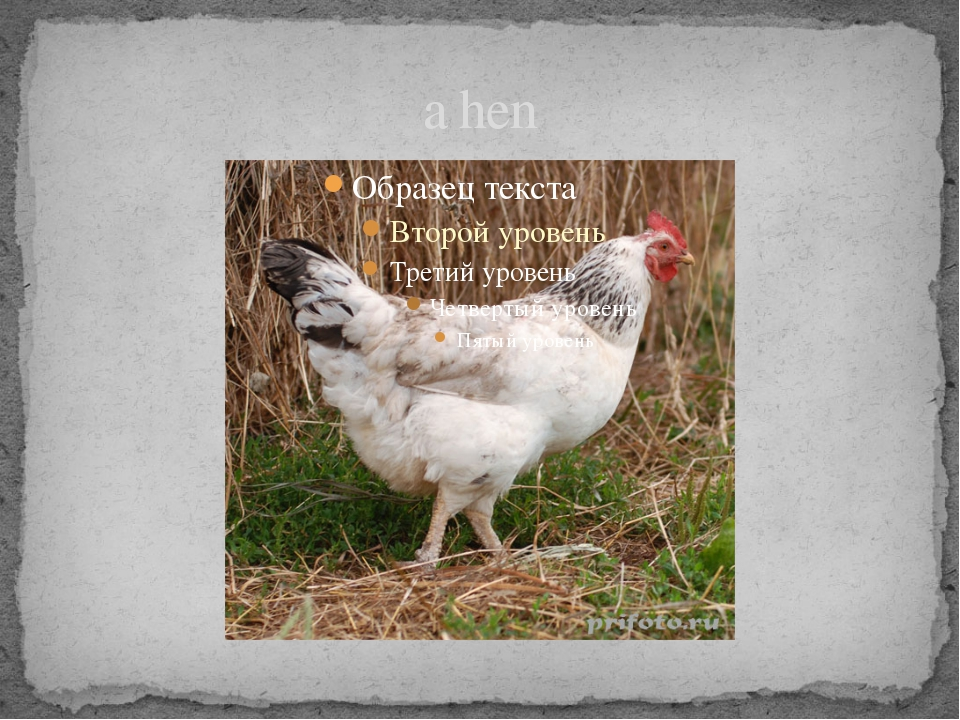 a hen