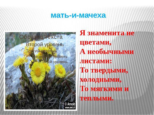 мать-и-мачеха Я знаменита не цветами, А необычными листами: То твердыми, холо...