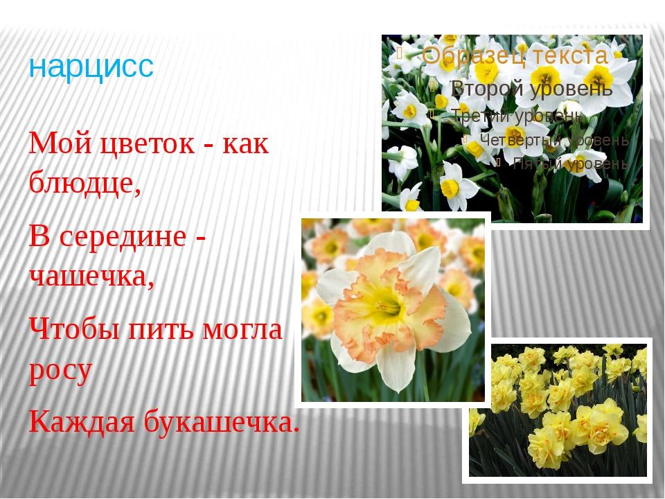 нарцисс Мой цветок - как блюдце, В середине - чашечка, Чтобы пить могла росу...