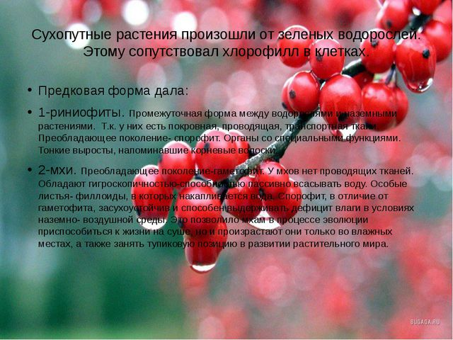Сухопутные растения произошли от зеленых водорослей. Этому сопутствовал хлоро...