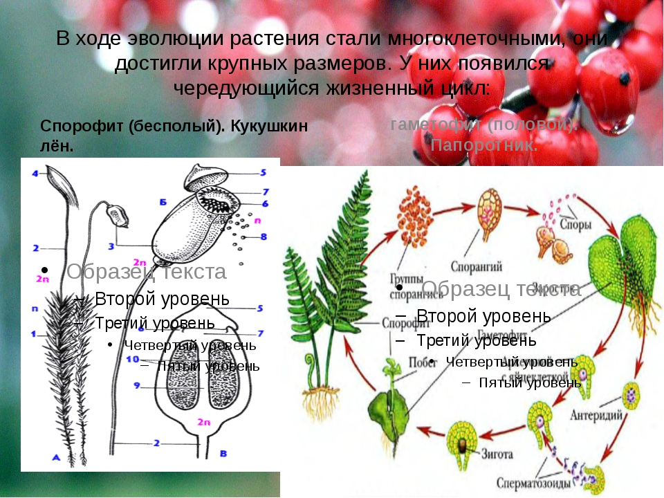 В ходе эволюции растения стали многоклеточными, они достигли крупных размеров...