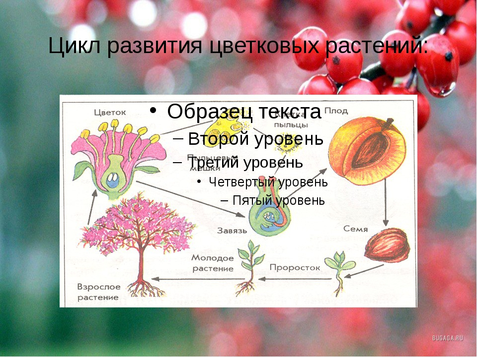 Цикл развития цветковых растений:
