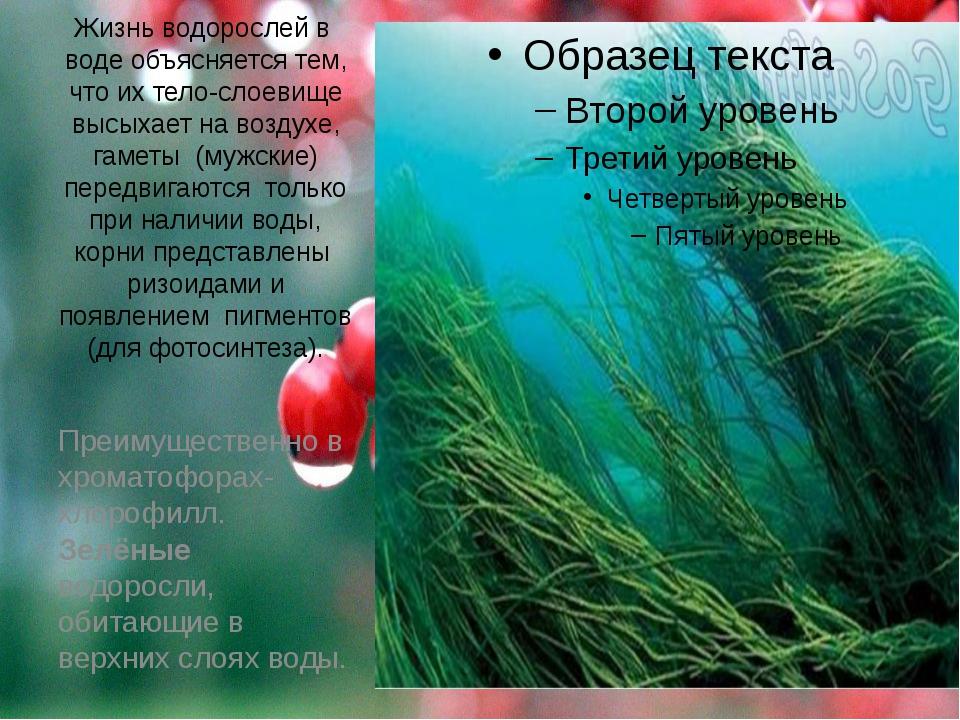 Жизнь водорослей в воде объясняется тем, что их тело-слоевище высыхает на воз...