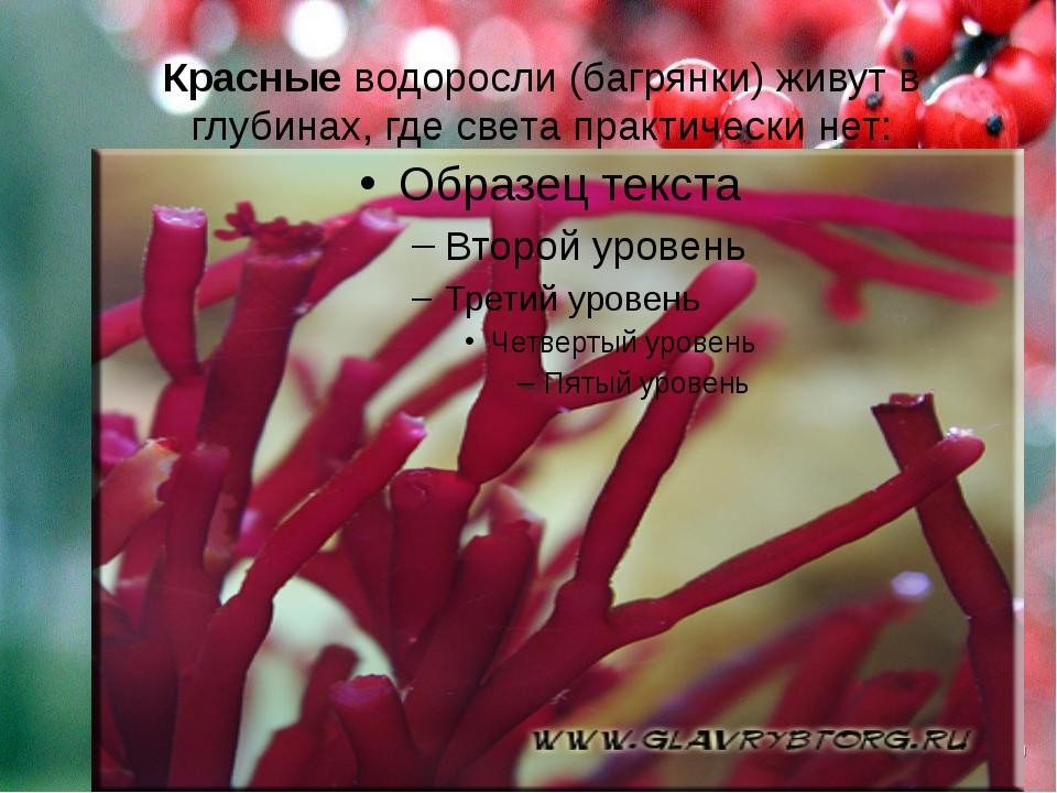 Красные водоросли (багрянки) живут в глубинах, где света практически нет: