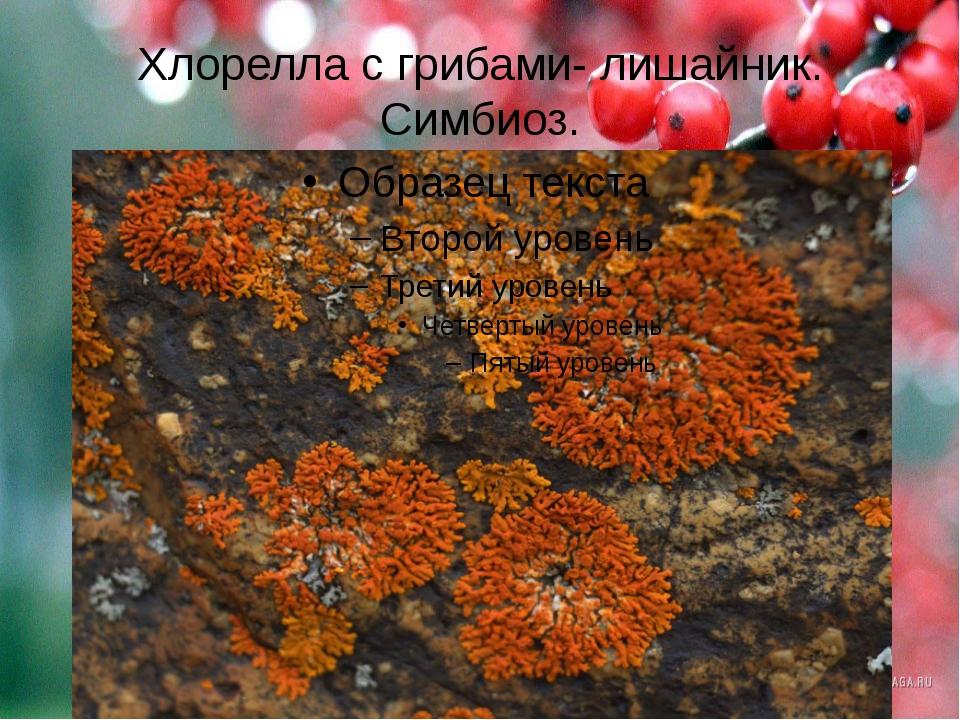 Хлорелла с грибами- лишайник. Симбиоз.