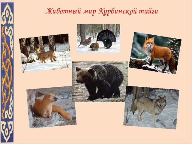 Животный мир Курбинской тайги