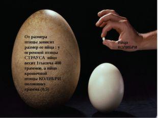 От размера птицы зависит размер ее яйца : у огромной птицы СТРАУСА яйцо весит