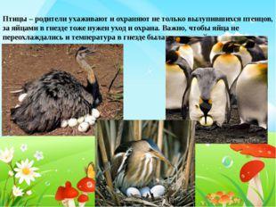 Птицы – родители ухаживают и охраняют не только вылупившихся птенцов, за яйца